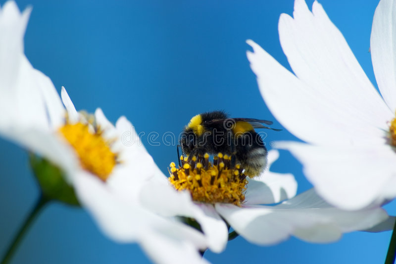 Flores de Cosmea (cosmos) fotos de stock royalty free