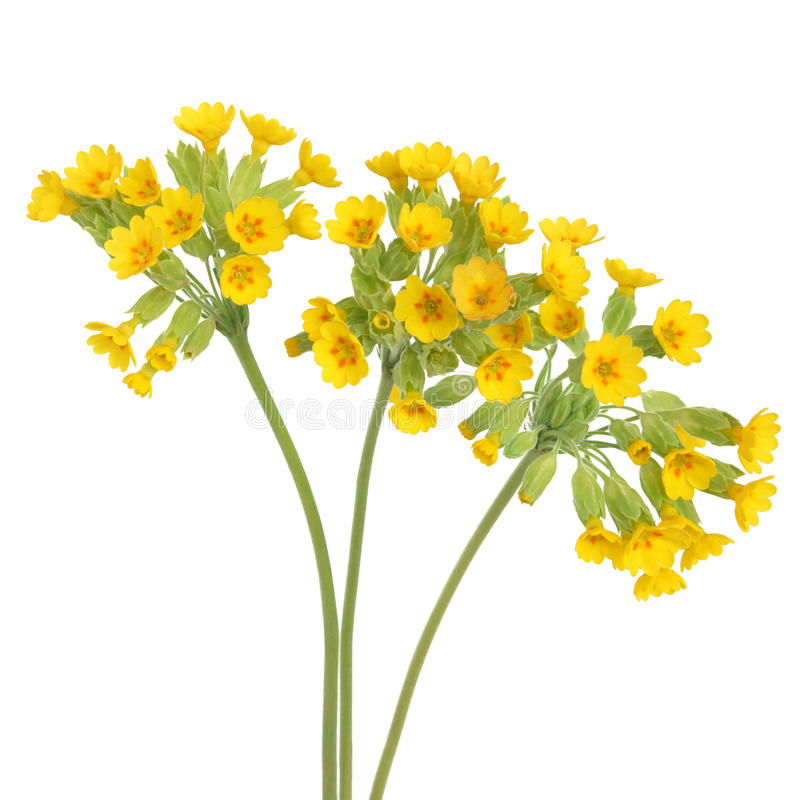 Flores de Cowslip fotos de stock royalty free