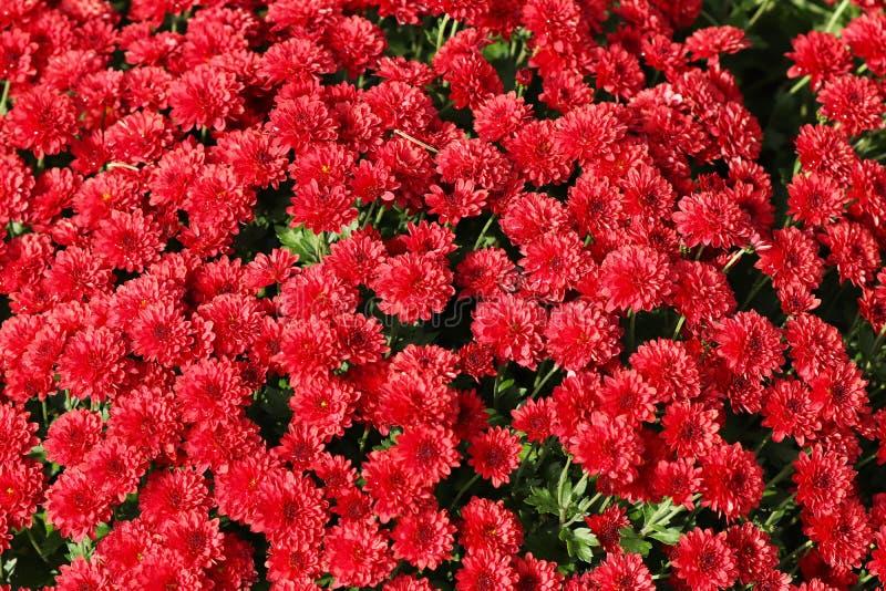 Flores de crisântemos pequenos vermelhos Fundo natural bonito de plantas decorativas Decoração dos locais e dos parques outono c fotografia de stock royalty free