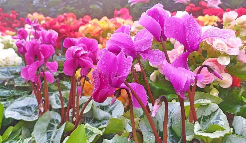 Flores de Cyclamen Flores de adeus imagem de stock royalty free