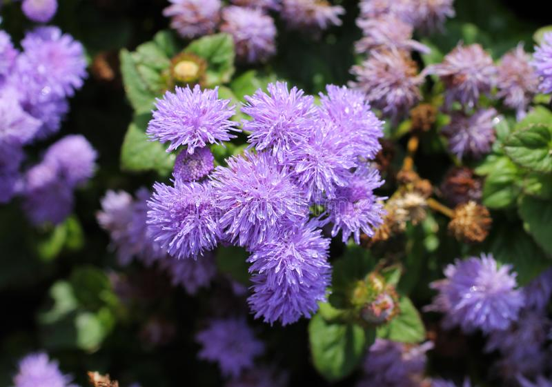 Flores de flores da viúva foto de stock
