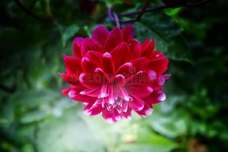 Flores de Dahlia Red imagens de stock
