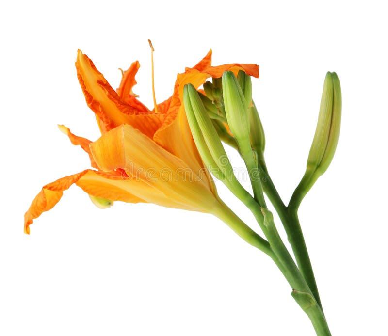 Flores de Daylily imagem de stock