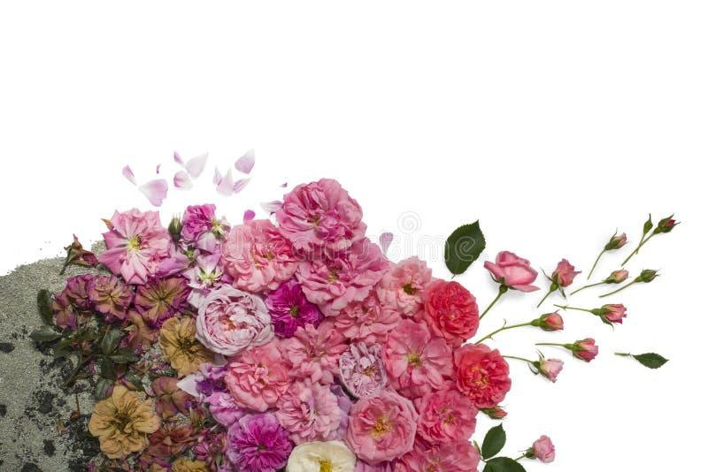 Flores de descoloramiento de las rosas imagenes de archivo