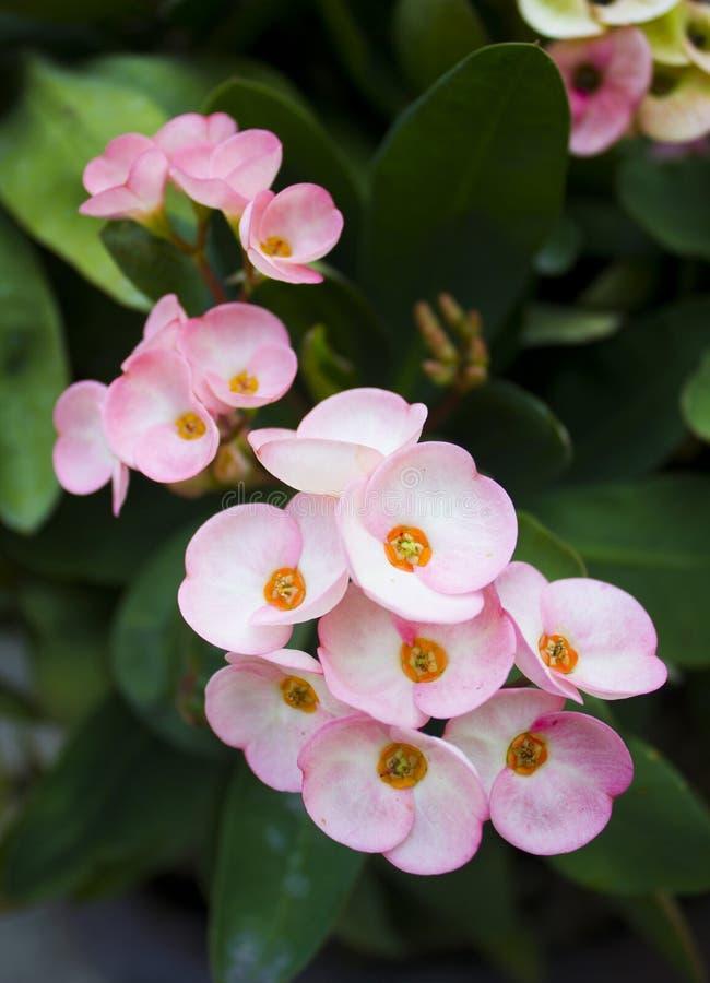Flores de Desmoul do milli do eufórbio imagens de stock