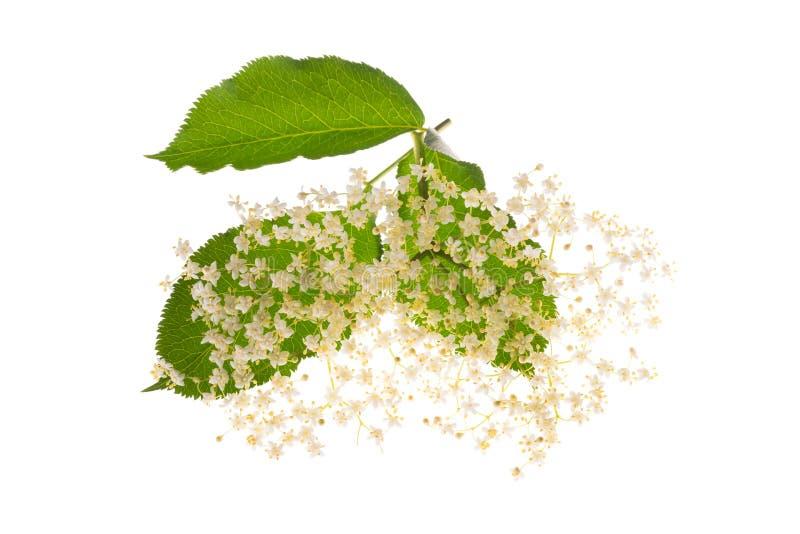 Flores de Elderberry aisladas fotografía de archivo