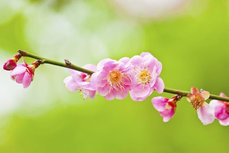 Flores de flores de cerezo fotos de archivo