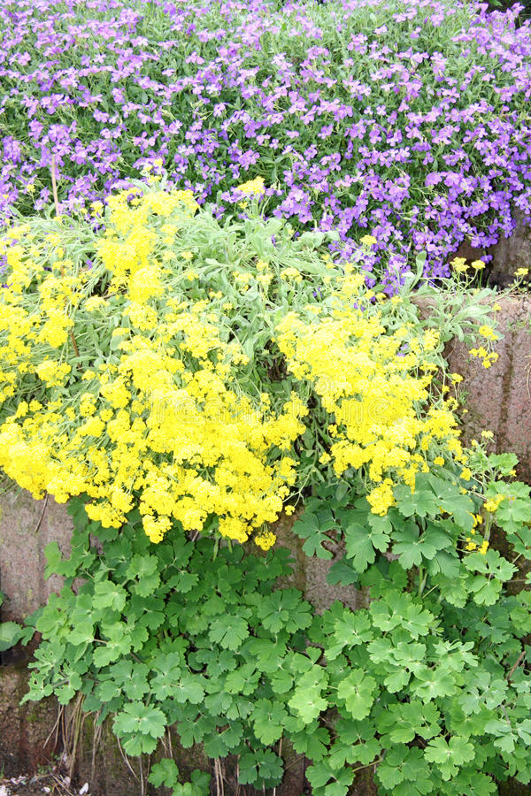 Flores de florescência azuis e amarelas fotos de stock royalty free