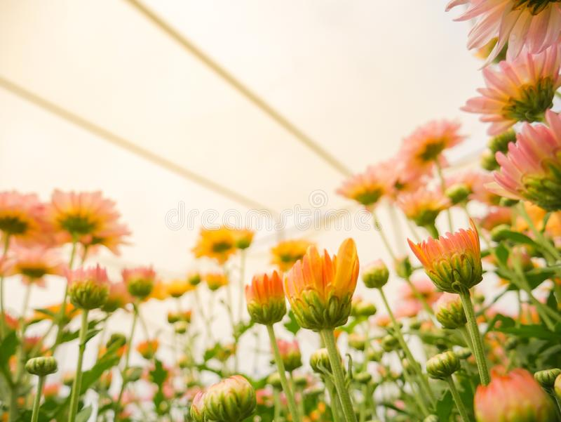 Flores de florescência bonitas do crisântemo com as folhas verdes no jardim fotos de stock