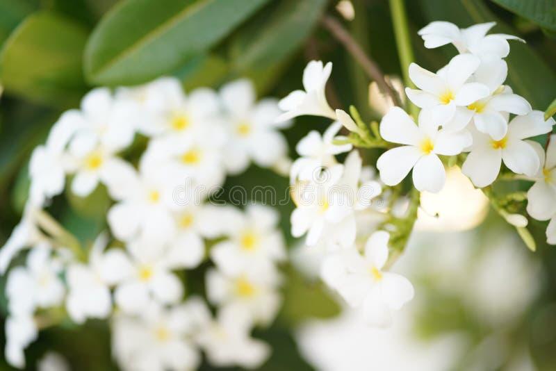 Flores de florescência brancas do Plumeria no parque fotografia de stock