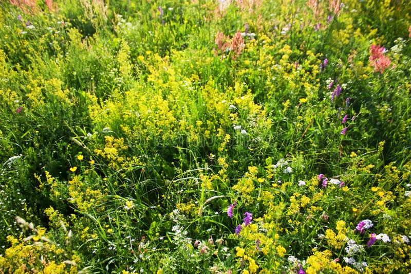 Flores de florescência coloridas em um prado ensolarado do verão Fundo da natureza fotos de stock royalty free