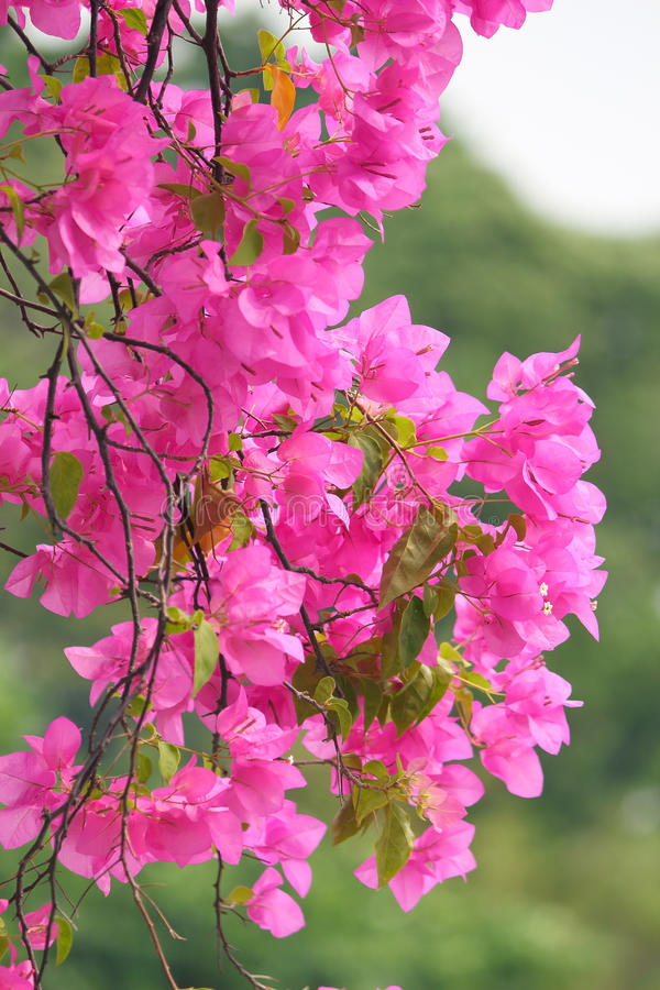 Flores de florescência cor-de-rosa do bougainvillea fotos de stock