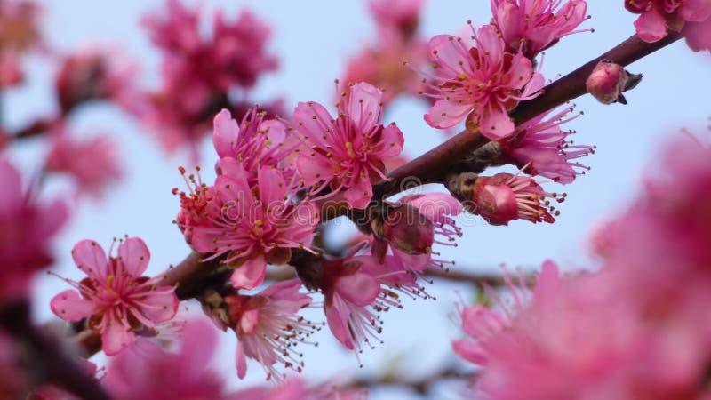 Flores de florescência cor-de-rosa em plantas sazonais Gardeni do dia do ramo de árvore imagens de stock