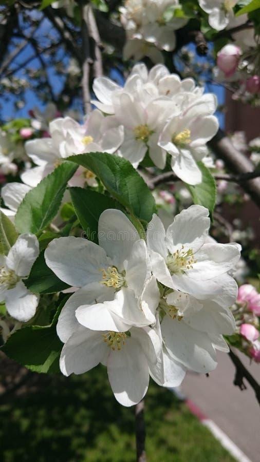 Flores de florescência da árvore da mola branca imagem de stock