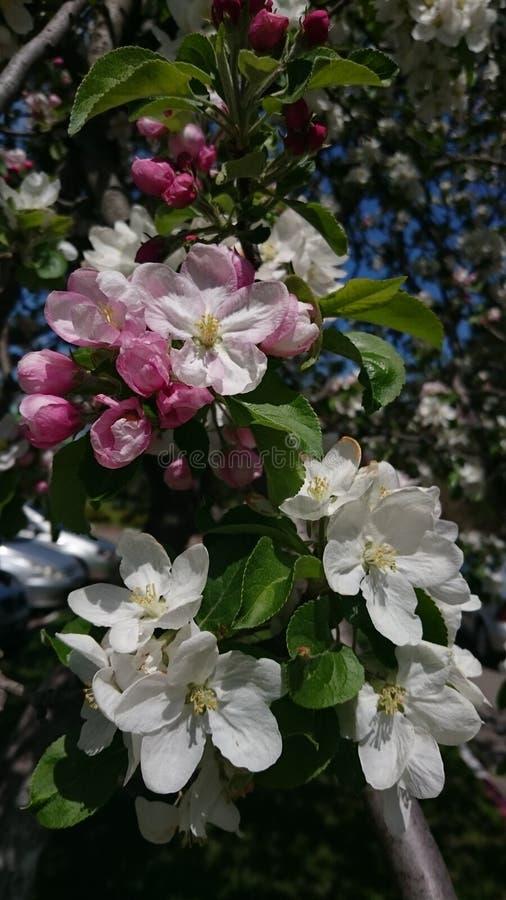 Flores de florescência da árvore da mola branca e botões cor-de-rosa foto de stock
