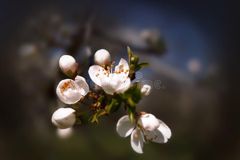 Flores de florescência da cereja no primeiro plano imagens de stock