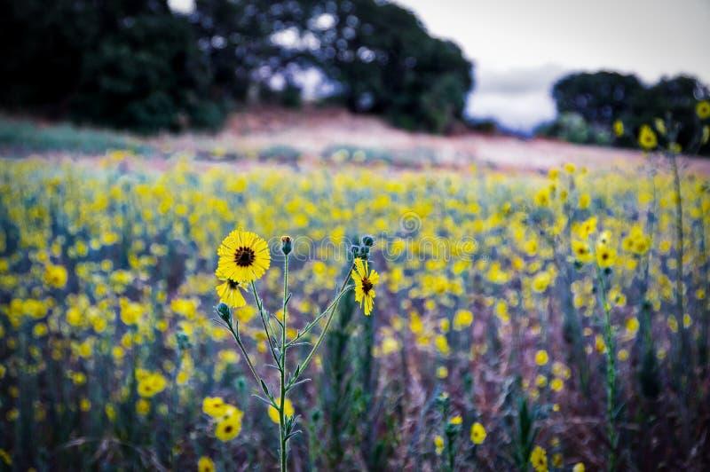 Flores de florescência da erva daninha pelo lago Califórnia do folsom imagens de stock