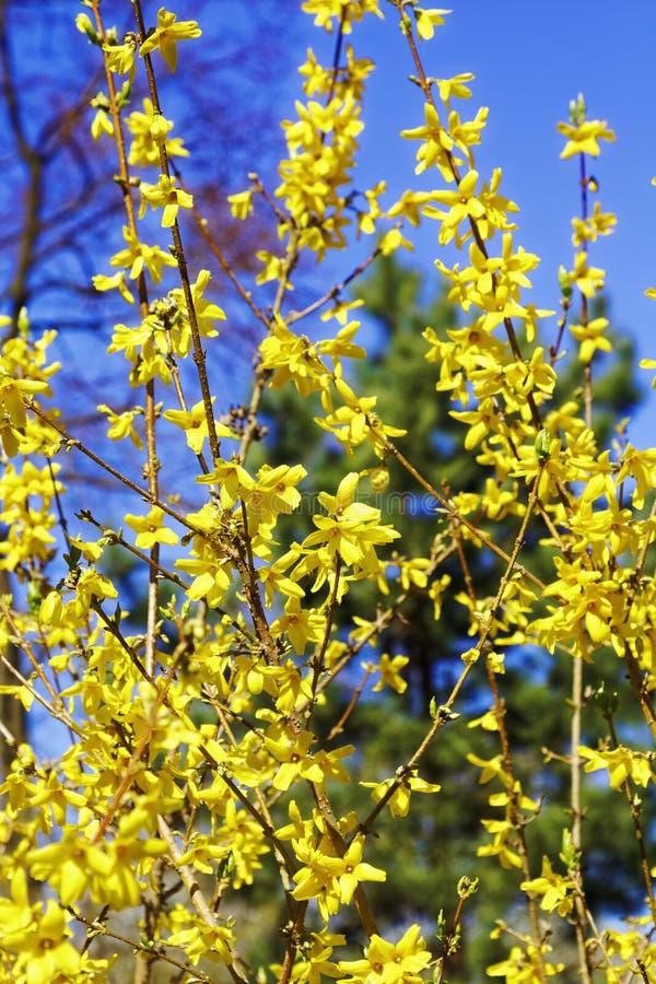 Flores de florescência da forsítia com profundidade de campo rasa Flores da mola no jardim botânico Foco seletivo imagens de stock