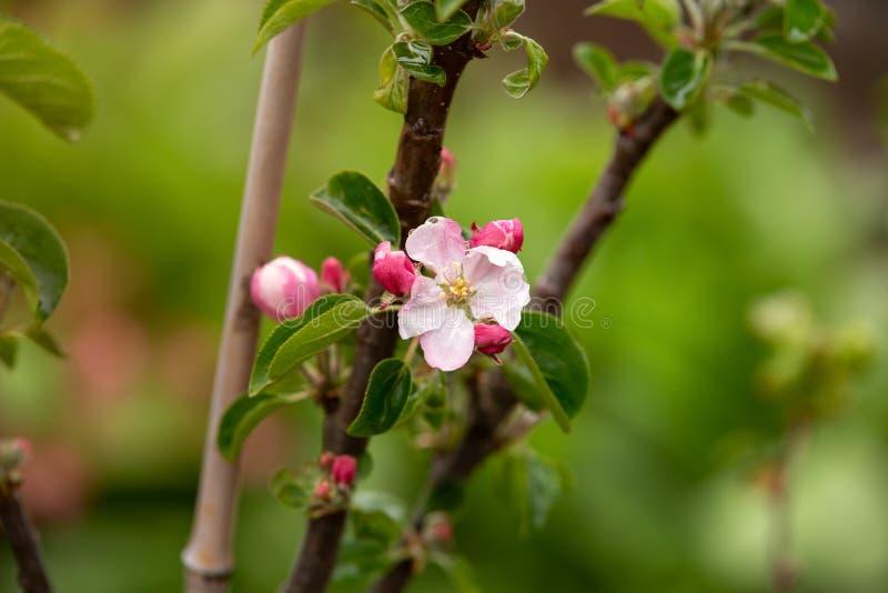 Flores de florescência da maçã na árvore no jardim da mola imagens de stock