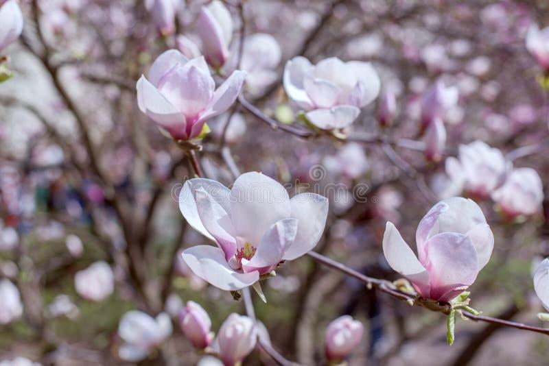 Flores de florescência da magnólia fotos de stock