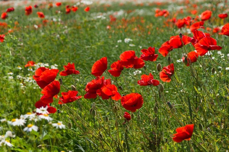 Flores de florescência da papoila (Papaver - somniferum) fotos de stock royalty free