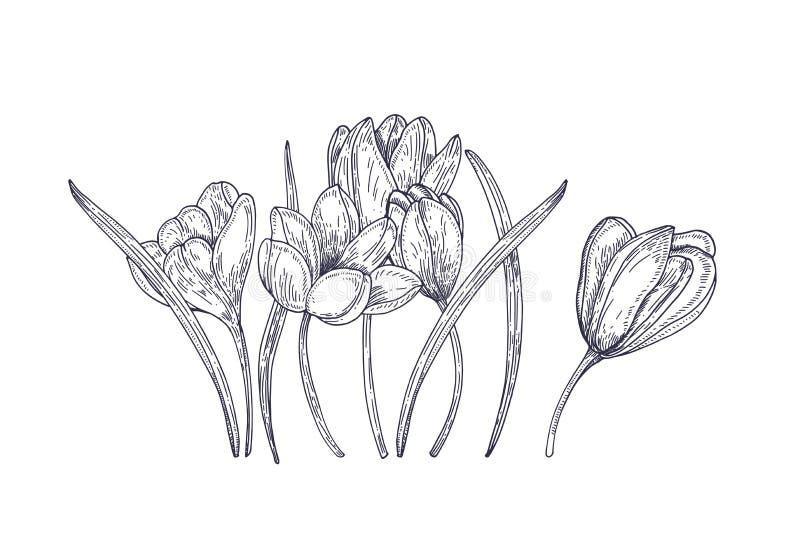 Flores de florescência do açafrão da mola isoladas no fundo branco Planta de florescência do jardim sazonal lindo Fundo floral do ilustração do vetor