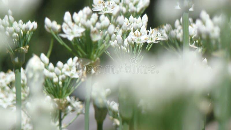 Flores de florescência do cebolinha fotos de stock