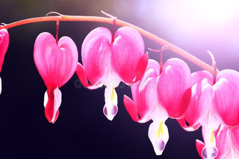 Flores de florescência do coração de sangramento As flores bonitas nomearam Dicentr fotografia de stock