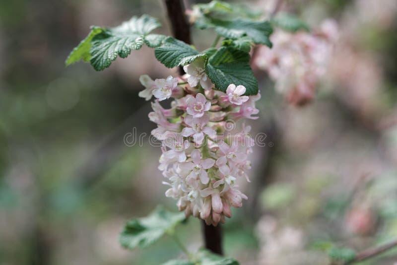 Flores de florescência do corinto, sanguineum do Ribes fotografia de stock royalty free