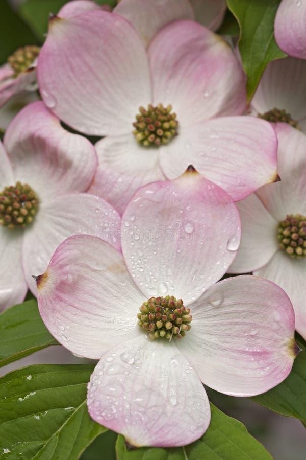 Flores de florescência do corniso fotografia de stock