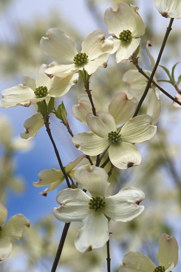 Flores de florescência do corniso fotografia de stock royalty free