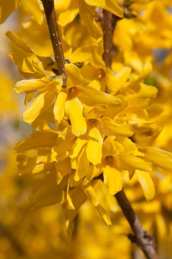 Flores de florescência do forsythia-Forthysia imagem de stock royalty free