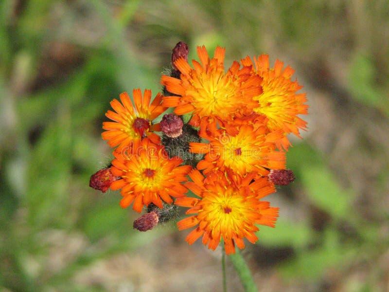Flores de florescência do Hawkweed alaranjado na flor foto de stock