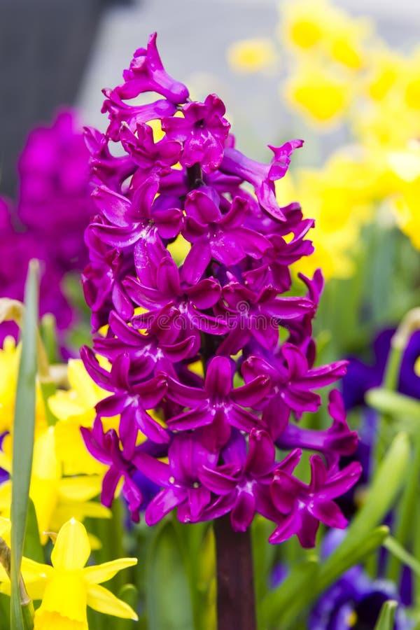 Flores de florescência do jacinto fotografia de stock