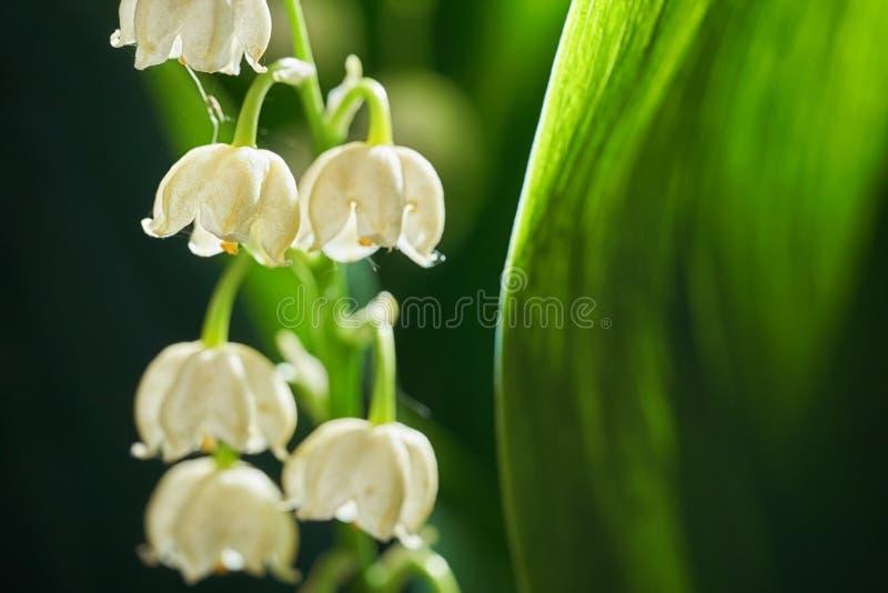 Flores de florescência do lírio do vale no macro do ar livre do amanhecer imagens de stock