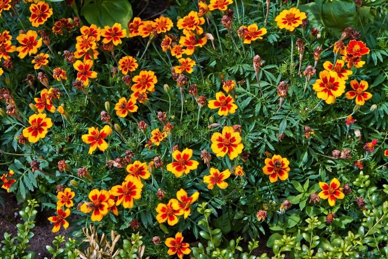 Flores de florescência do verão em Arnhem Países Baixos julho imagens de stock