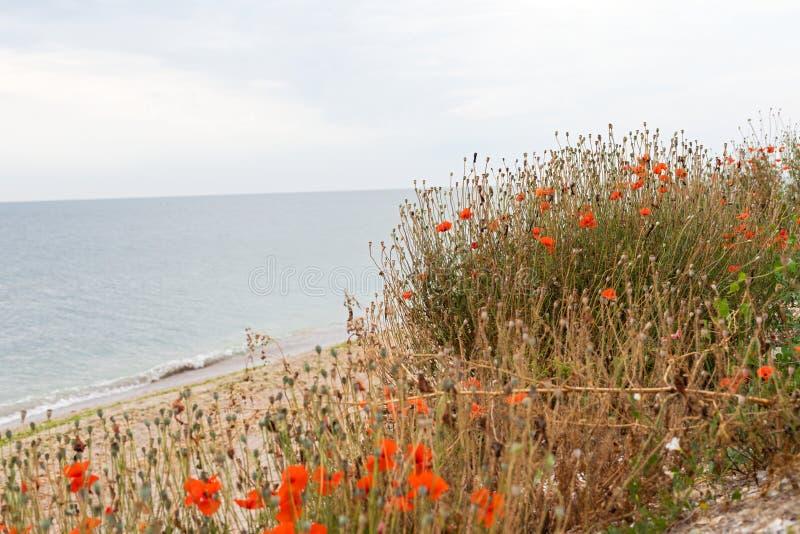 Flores de floresc?ncia da papoila imagem de stock royalty free