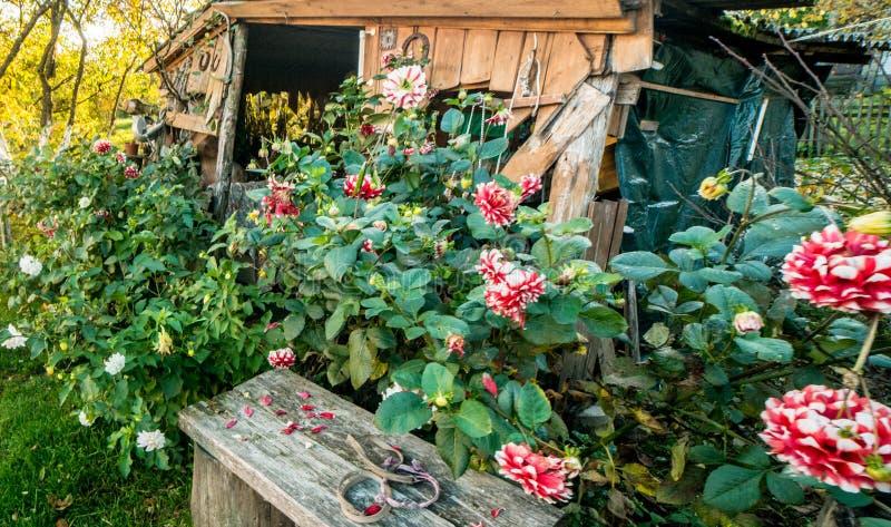 Flores de floresc?ncia da pe?nia fotos de stock royalty free