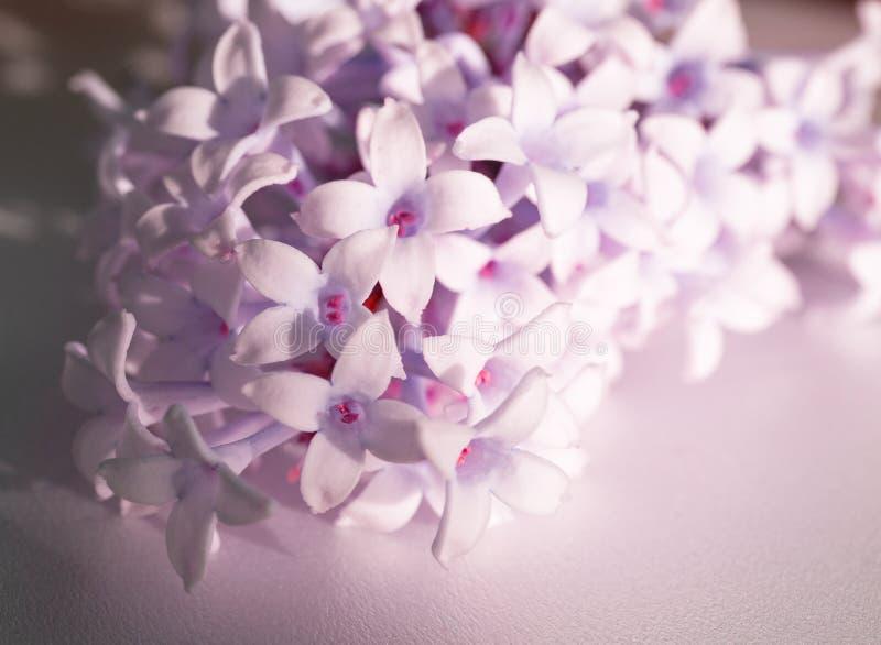 Flores de floresc?ncia do lilac Imagem macro de flores violetas lil?s da mola, fundo floral macio abstrato fotos de stock