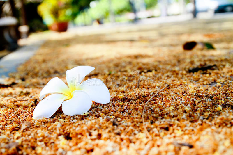 Flores de Frangipanni fotografia de stock