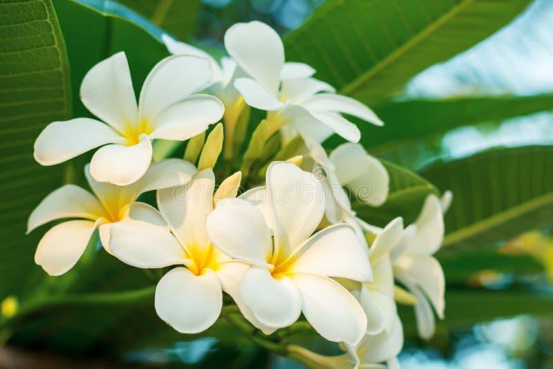 Flores de Frangipanni imagem de stock