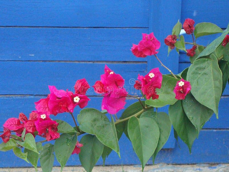 Flores de Fucsia no azul do fundo fotografia de stock
