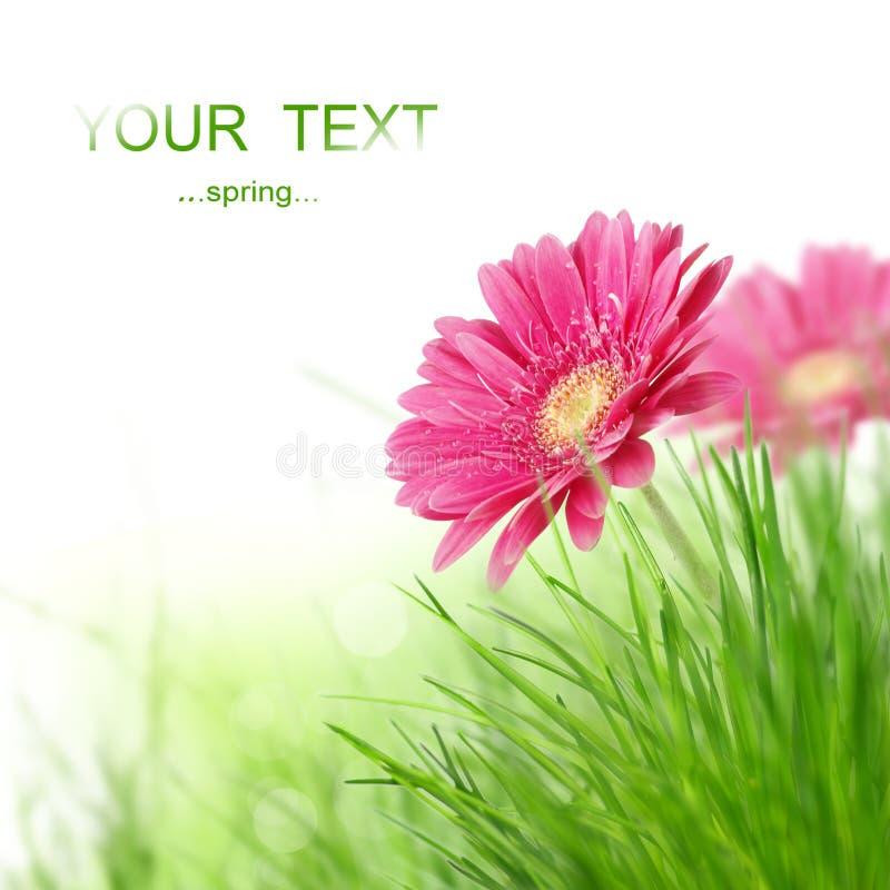 Flores de Gerber imagen de archivo libre de regalías