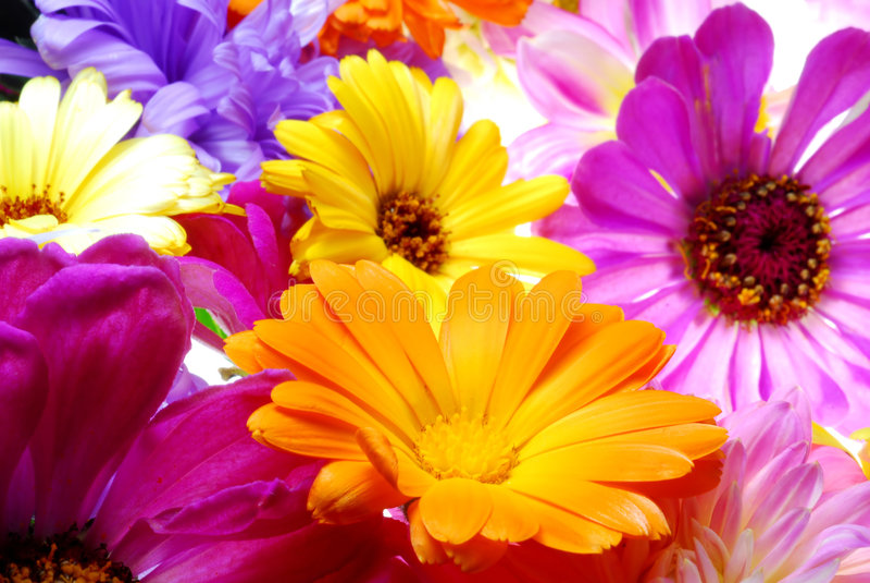 Flores de Gerber foto de archivo