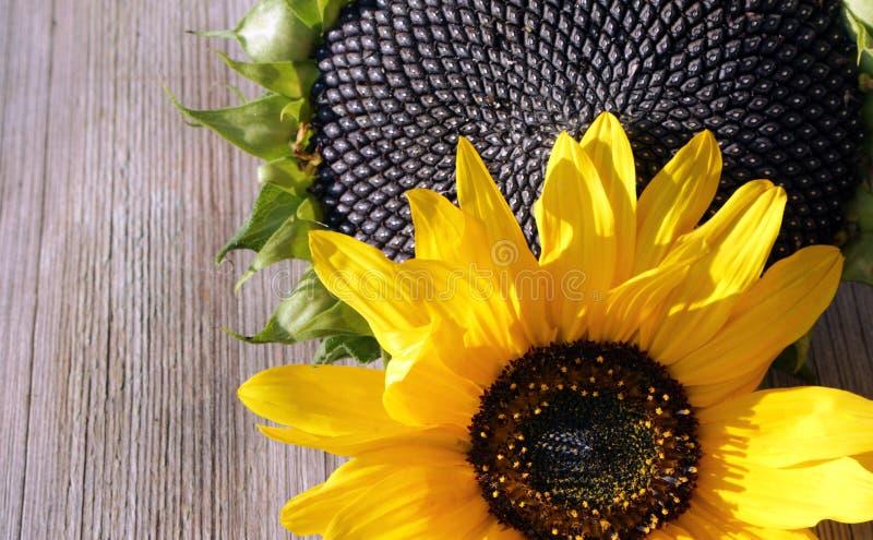 Flores de girasoles y de semillas de girasol en fondo de madera imagen de archivo libre de regalías