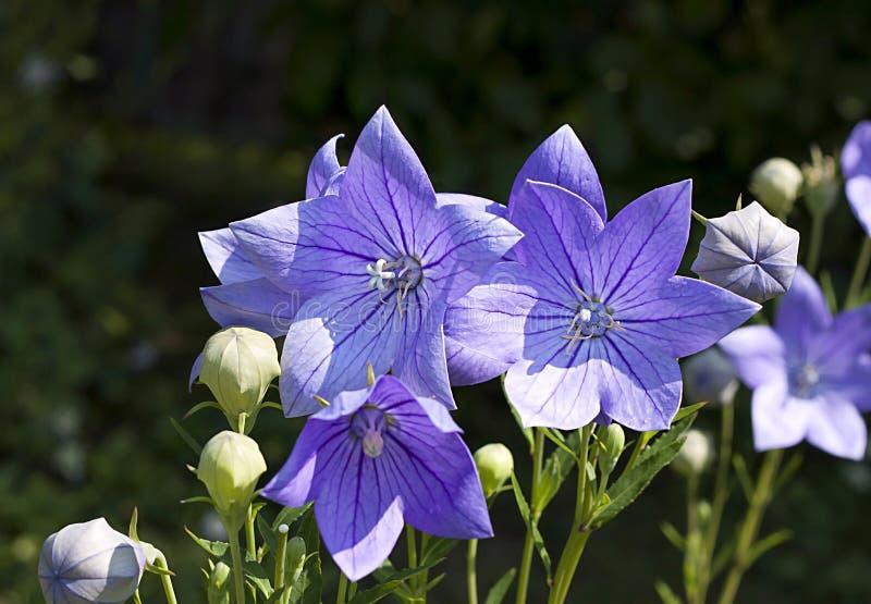 Flores de globo (grandiflorus de Platycodon) fotos de archivo