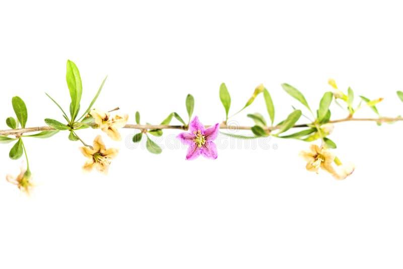 Flores de Goji en el fondo blanco fotos de archivo libres de regalías