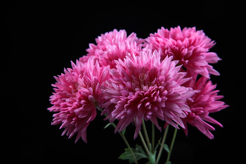 Flores de Guldaudi fotografía de archivo libre de regalías