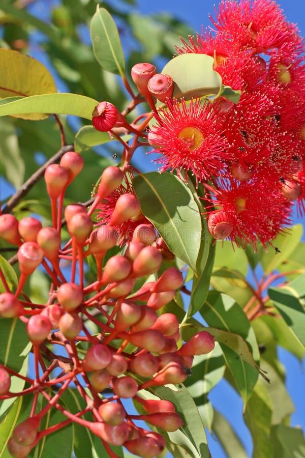 Flores de Gumnut imagem de stock royalty free