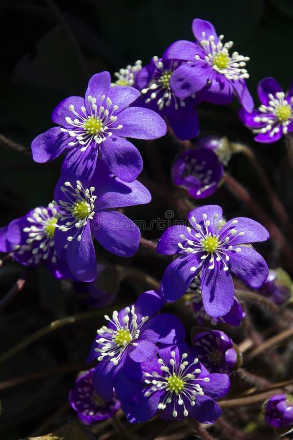 Flores de Hepatica fotografía de archivo
